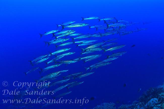 Chevron Baracuda (Sphyraena putnamiae)  at Bradford Shoals in Kimbe Bay off New Britain, Papua New Guinea.