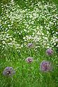 Allium cristophii and Ox-eye Daisies, Wildflower meadow, Arundel Castle Gardens, late June.