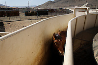 A foal waits in a chute to be vaccinated and given a freeze brand at Palomino Valley holding facility.  They can hold 1600 horses that may be adopted by the public.  Wild horses brought in from the Jackson Mountains are processed at Palomino Valley holding facility.  Veterinarian Rick so and so ages them and worms them.