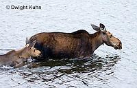 MS06-502z  Cow Moose and calf, Alces alces