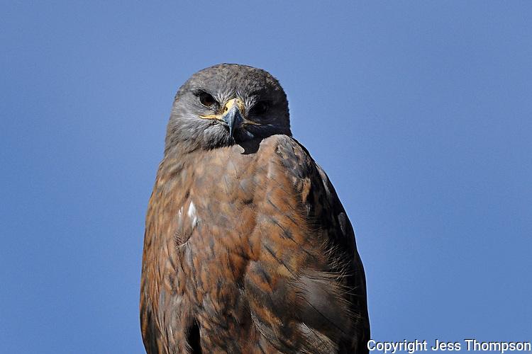 Adult rufous-morph Swainson's Hawk, Texas roadside
