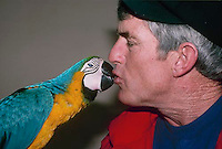 Colorful Blue and gold McCaw gives a kiss to his human friend