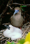 Red-footed booby, Galapagos Islands, Ecuador