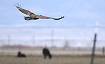 A golden eagle flies over a Minden, Nev. ranch on Sunday, March 13, 2011..Photo by Cathleen Allison