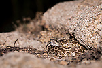 San Diego, California; a small Western Rattlesnake sticking out its tongue while coiled up against a crevice in a rock boulder at night