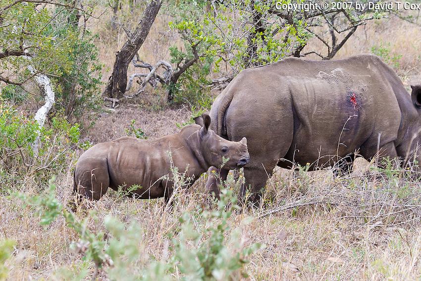 White Rhino w wound and calf, Hluhluwe-Umfolozi NP, SA