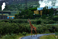 A giraffe walks across a road near Olkaria geothermal energy plant in Hells Gate National Park near Lake Naivasha, Africa's largest geothermal project.
