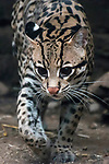 ocelot 3/4 view walking to to camera, vertical