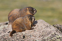 Yellow-bellied Marmot,Marmota flaviventris,adult and young on rock boulder,Rocky Mountain National Park, Colorado, USA