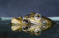 Grasfrosch, Paarung, Gras-Frosch, Frosch, Rana temporaria, European Common Frog, European Common Brown Frog
