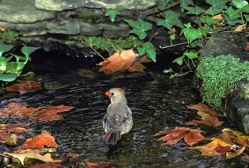 Female Nothern Cardinal, Cardinal cardinalis, bathing in garden pool in fall, Missouri USA