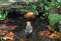 Female Nothern Cardinal, Cardinal cardinalis, bathing in garden pool in fall, Missouri USA