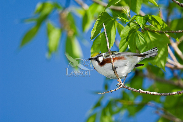 Chestnut-sided Warbler (Dendroica pensylvanica) male rests in mixed forest along Lake Erie shoreline near Canada and USA border during annual spring migration northward to summer breeding grounds. Some 46% of Chestnut-sided Warblers in North America nest in Canada's boreal forest.