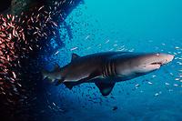 sand tiger shark, Carcharias taurus (formerly Odontaspis/ Eugomphodus) wreck of the Papoose, N. Carolina, Atlantic Ocean