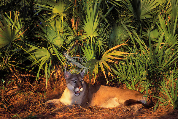 FLORIDA PANTHER surrounded by saw palmetto branches..Endangered Species. Florida..(Felis concolor coryi).