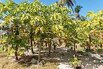 Paw Paw trees on the island of Kiritimati in Kiribati