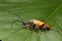Rothalsbock, Rot-Halsbock, Roter Halsbock, Gemeiner Bockkäfer, Männchen, Corymbia rubra, Stictoleptura rubra, Leptura rubra, Aredolpona rubra, Red Longhorn Beetle, Red Longhorn-beetle, male