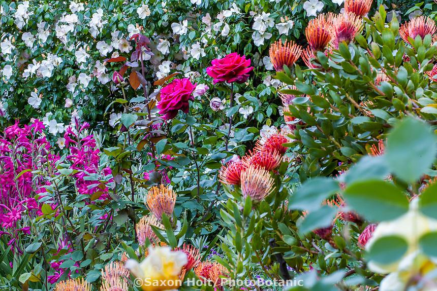 Rosa 'Mr. Lincoln' red flowering rose in Diana Magor Garden hillside cottage garden with