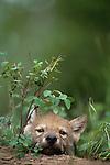 Wolf pup, Montana