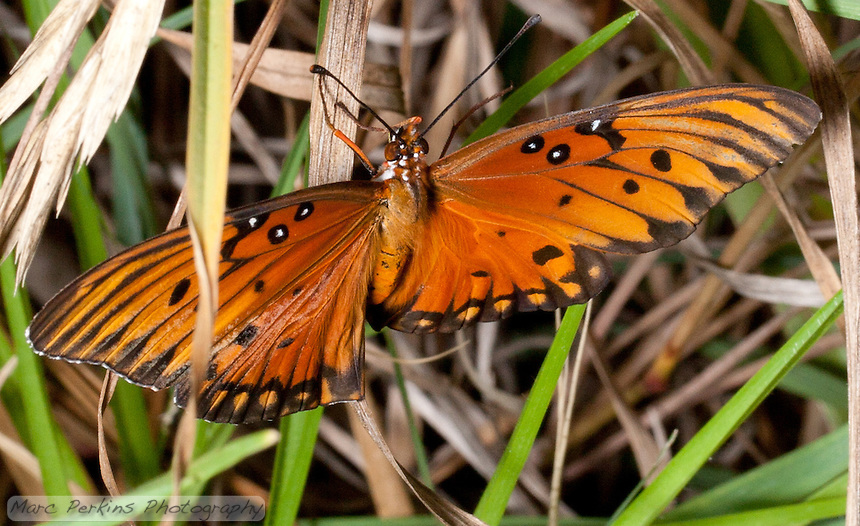 A gulf fritillary [Agraulis vanillae incarnata] stands amongst blades of lemongrass [Cymbopogon sp.] with its wings outstretched, showing off its bright orange colors. The bottom of its wings have reflective silver spots on them, not visible in this picture.