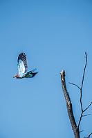 Africa, Botswana, Okavango Delta, Khwai private reserve. Bateleur bird.