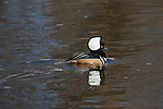 Hooded merganser swimming in the Chippewa River in northern Wisconsin.