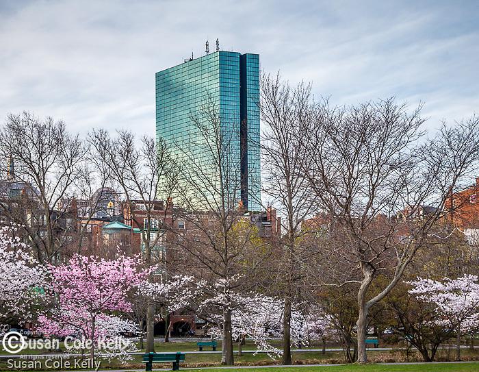 Cherry blossoms blooming on the Charles River Esplanade, Boston, Massachusetts, USA
