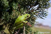 0605-0912  American Green Treefrog Climbing Tree at Outer Banks North Carolina, Hyla cinerea  © David Kuhn/Dwight Kuhn Photography