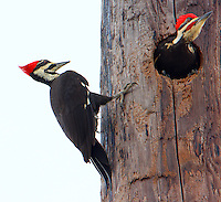Male and female pileated woodpeckers at nesting cavity in utility pole. Male is emerging from cavity.