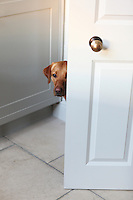 A cute Labrador peers around the door to the kitchen