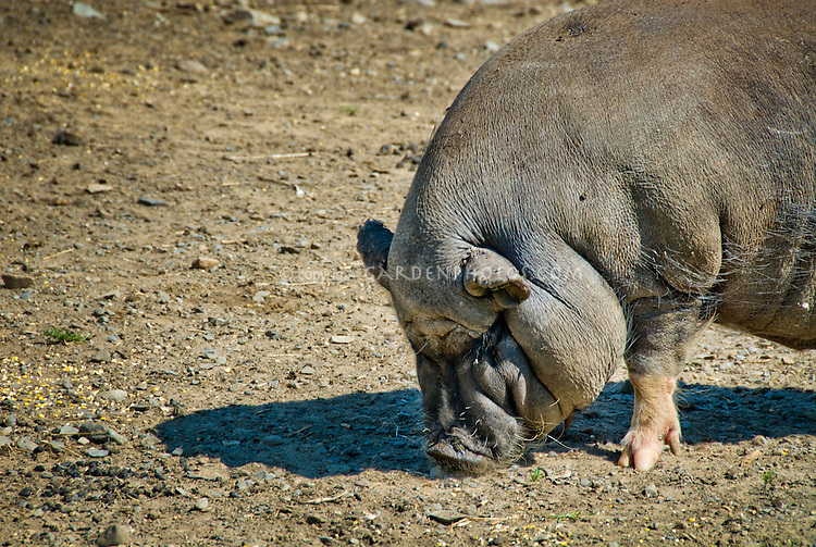 Guinea Pig hog farm animal in paddock
