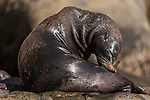 Guadalupe Island, Baja California, Mexico; a Guadalupe fur seal scratching while warming itself on the rocks in early morning sunlight