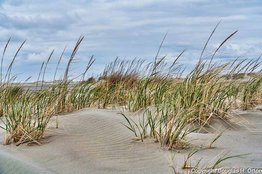 Dune eoology along Grayland Beach, Washington.  Grayland Beach Stae Park.