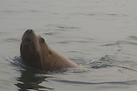 Steller Sea Lion (Eumetopias jubatus) swimming off Bell Island Chain, Gulf Islands, British Columbia, Canada