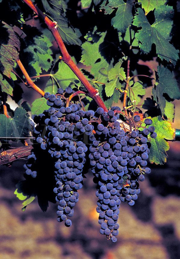 Cabernet Sauvignon grapes on the vine at a wine vineyard in Napa Valley.