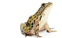Northern Leopard Frog.Rana pipien