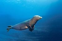 Hawaiian monk seal, Neomonachus schauinslandi, Critically Endangered endemic species, mature male with massive scar, probably from a tiger shark bite, Lehua Rock, off Niihau, USA, Pacific Ocean