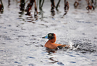Male Masked Duck in Viera Florida, splashing in water-this duck is a vagrant visitor, normally living in Mexico
