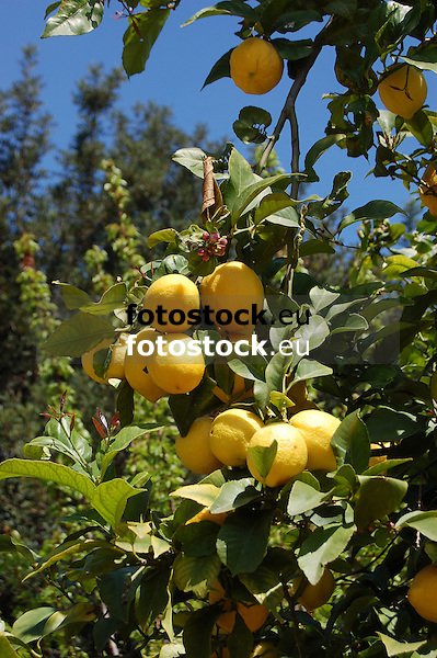 ripe lemons at a lemon tree in a garden of the Sóller valley, Majorca<br /> <br /> limones maduros en un limonero en la huerta del valle de Sóller, Mallorca<br /> <br /> reife Zitronen an einem Zitronenbaum in den Gärten des Sóller-Tals auf Mallorca<br /> <br /> 3008 x 2000 px<br /> 150 dpi: 50,94 x 33,87 cm<br /> 300 dpi: 25,47 x 16,93 cm