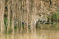Jaguar (Panthera onca) at the river bank, Pantanal, Brazil, South America