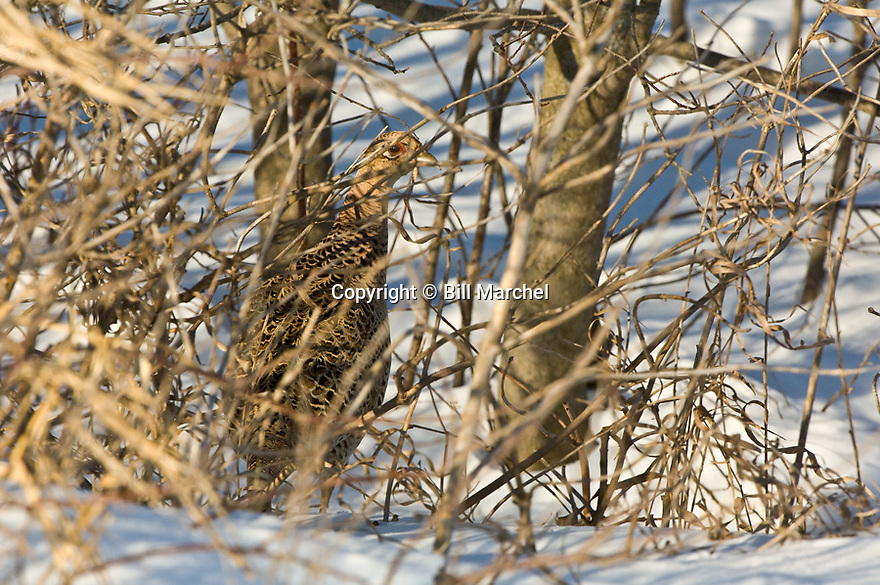 00890-036.08 Ring-necked Pheasant hen is in winter cover.  Hunt, survive, feed.  H3A1