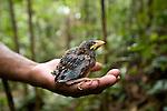 Helmet Vanga (Euryceros prevostii)  chick in hand. Masoala NP, north east Madagascar.