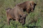 Foto: VidiPhoto..TOPOLCIANKY - Het gaat goed met de Europese bizon. Met name de laatste tijd worden er in de diverse reservaten in Polen, Wit-Rusland en Slowakije veel kalfjes geboren. Enkele decennia terug was de Europese bizon bijna uitgestorven en leefden er nog maar 50 dieren in met name de Oost-Europese landen. Op dit moment zijn dat er al ruim 1500. Bovendien proberen ook andere Europese landen, als Duitsland en Nederland, bizons een nieuw kans te geven in natuurgebieden. Foto: Bizons in het 27 hectare grote reservaat in Topolcianky (Slowakije).