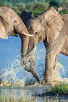 African elephants (Loxodonta africana) playfighting at the Namutoni water hole, Etosha National Park, Namibia, Africa
