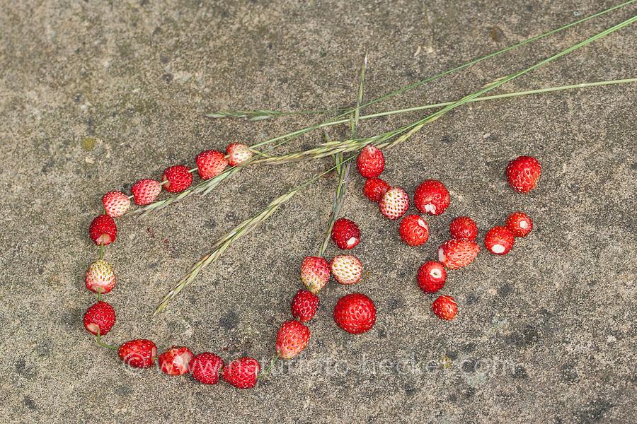 Wald-Erdbeere, Wald-Erdbeeren wurden auf einen Grashalm als Kette aufgezogen, Walderdbeere, Erdbeere, Frucht, Früchte, Erdbeeren, Monatserdbeere, Monats-Erdbeere, Fragaria vesca, wild strawberry, woodland strawberry, Alpine strawberry, European strawberry, fraises des bois
