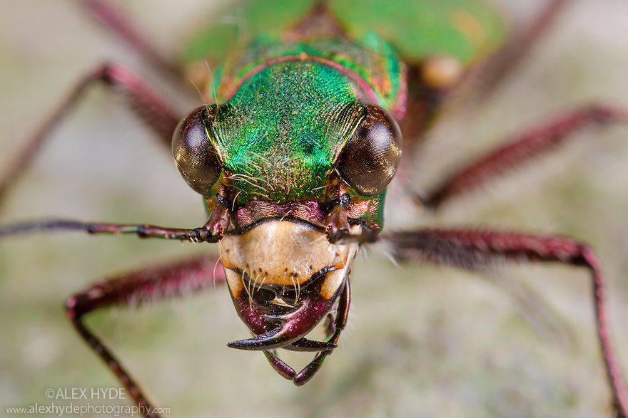 Green Tiger Beetle {Cicindela campestris}, Peak District National Park, Derbyshire, UK. May.