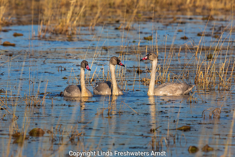 Juvenile trumpeter swans swimming in Phantom Lake at Crex Meadows Wildlife Area.