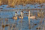 Juvenile trumpeter swans swimming in Phantom Lake at Crex Meadows Wildlife Area.