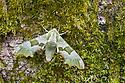 Lime Hawkmoth {Mimas tiliae}. Peak DIstrict National Park, Derbyshire, UK. June.