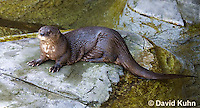0507-1001  African Spot-necked Otter, Lutra maculicollis  © David Kuhn/Dwight Kuhn Photography.